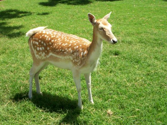 deer_9