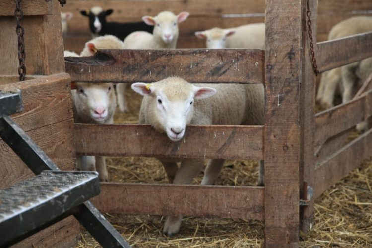 sheep-in-pen.jpg.size.custom.crop.850x567